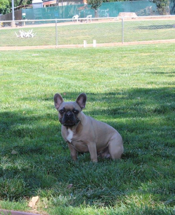 May contain: canine, bulldog, pet, dog, mammal, animal, and french bulldog