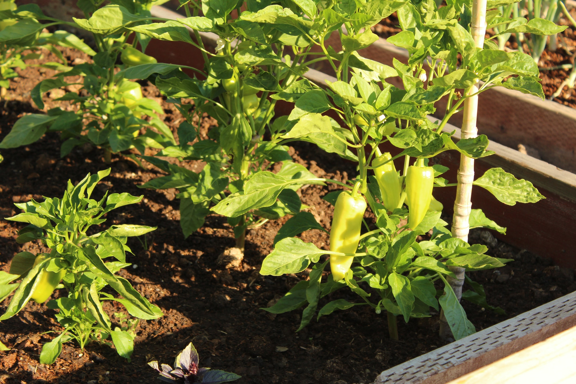 Community Garden: Peppers growing in a planter box