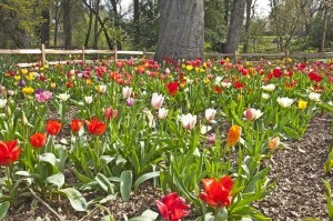Jensen Botanical Garden: Tulips of all colors under a tree