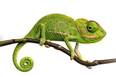 May contain: lizard, reptile, animal, and green lizard