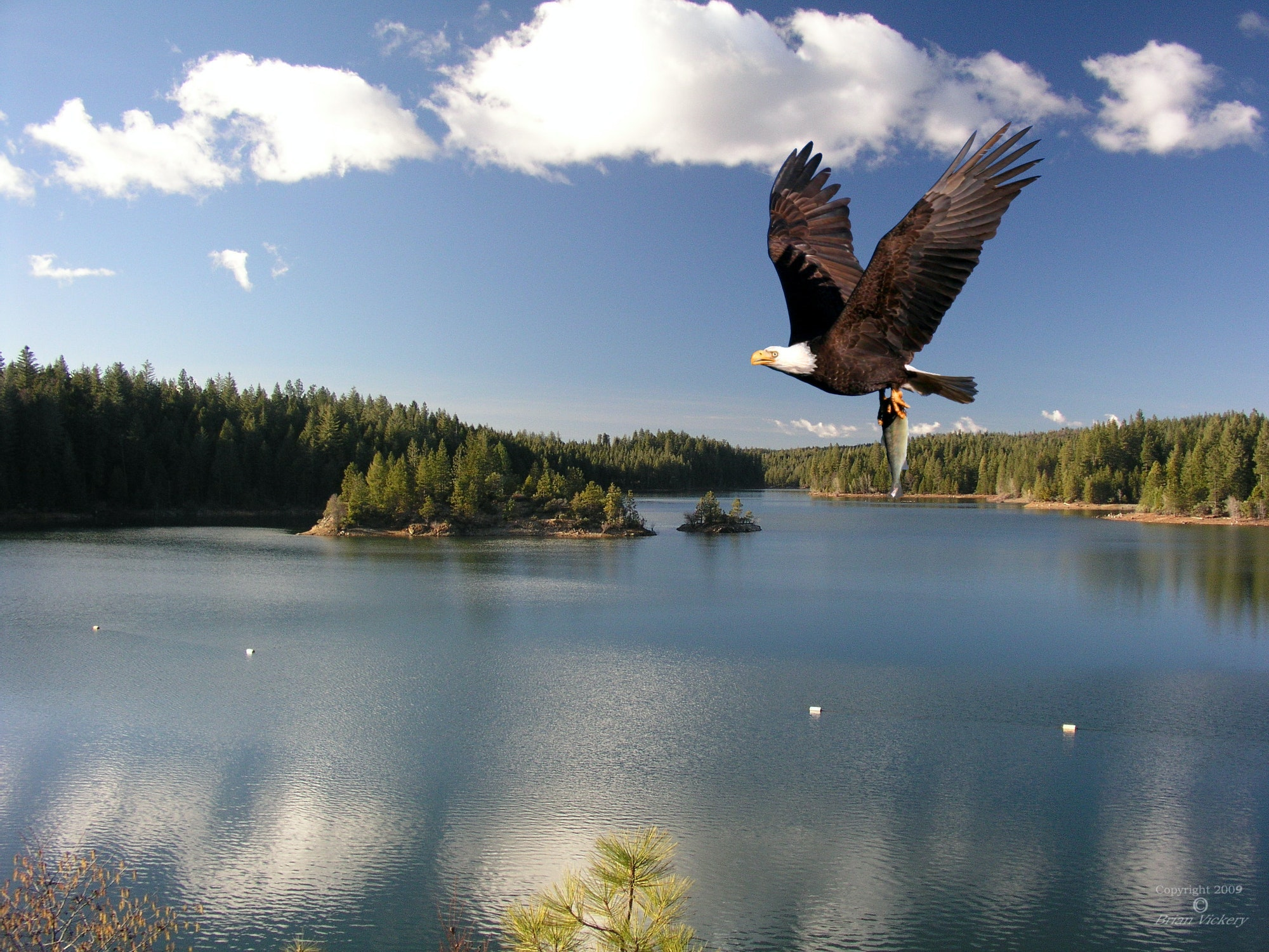 May contain: bird, animal, eagle, and bald eagle