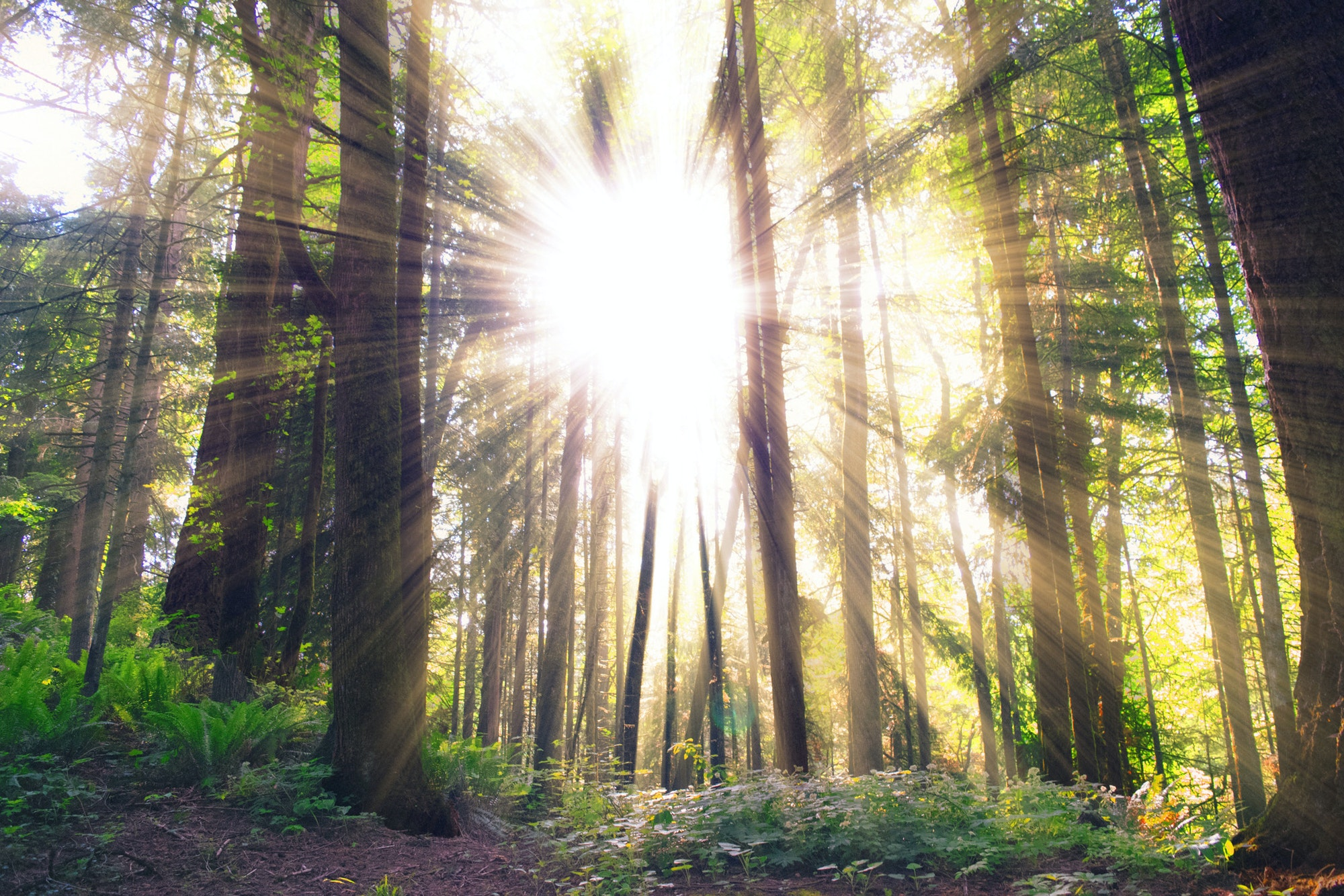 Sunlight, flare, and light through tall pine trees