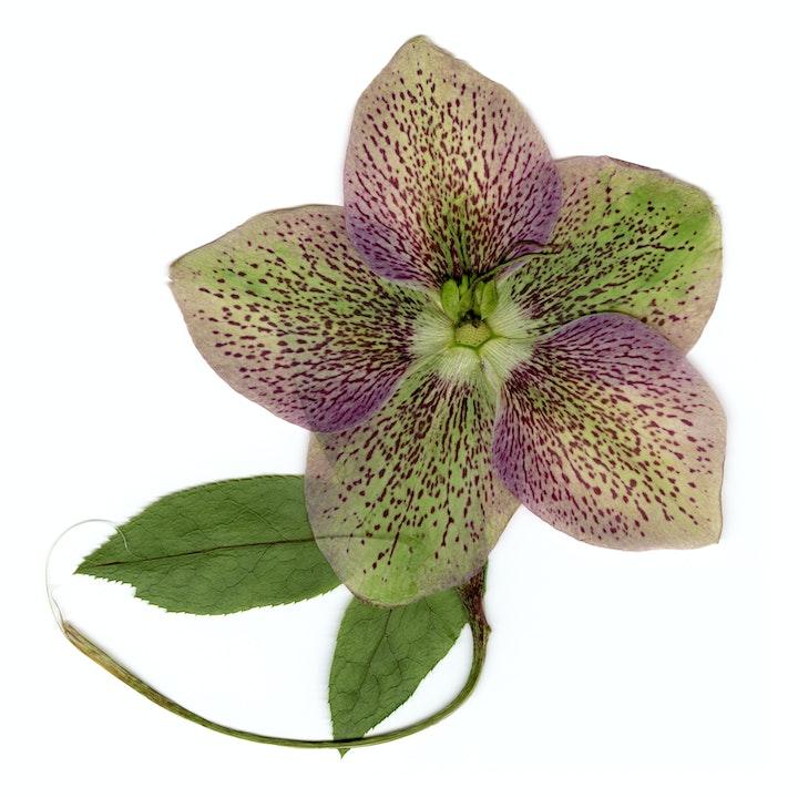 May contain: plant, flower, petal, blossom, geranium, and leaf