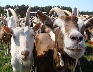 May contain: animal, mammal, and goat