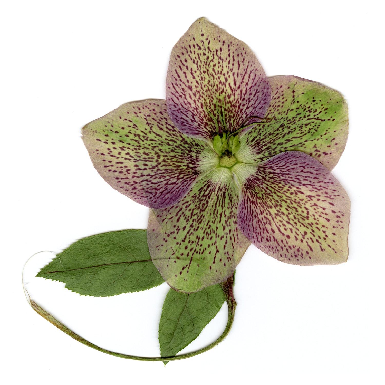May contain: plant, blossom, flower, petal, geranium, and leaf
