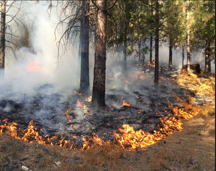 Flames about four inches high devour pine needle duff in a timber stand.