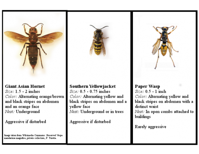 May contain: wasp, hornet, andrena, insect, invertebrate, animal, bee, and honey bee