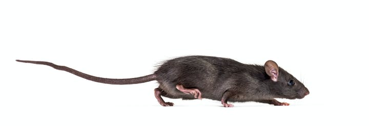 Side view of a roof rat, which is a long dark grey body with pink ears and feet, and a dark tail as long (or longer!) than its body.