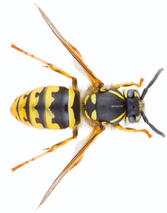 A top-down view of a yellowjacket. The insect has two black antenna, a body with yellow and black stripes, 6 yellow legs, and two light colored wings.