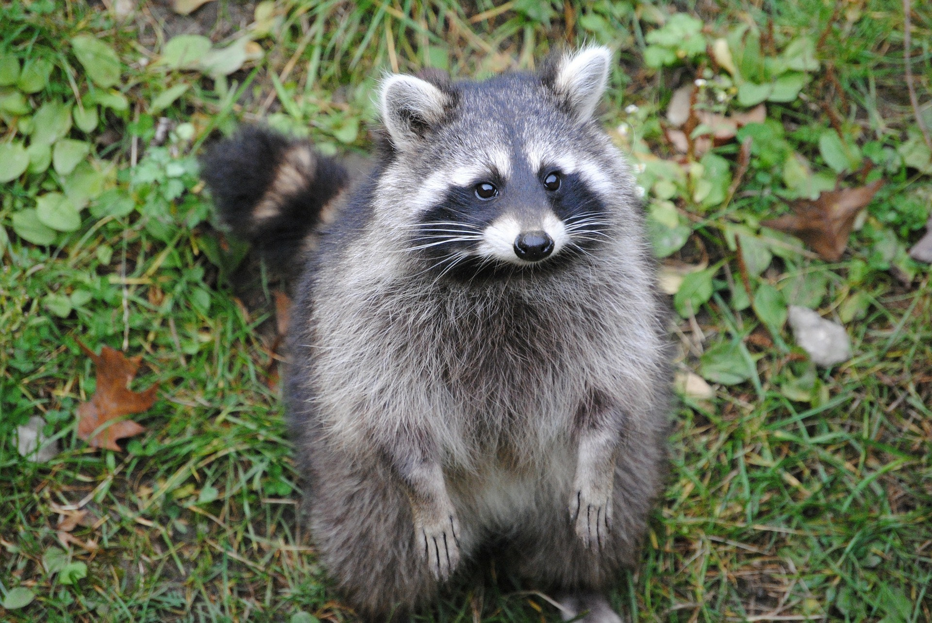 A plump and furry raccoon sits on its back legs looking towards the camera.  It has grey fur on its body, with black and white fur on its face.