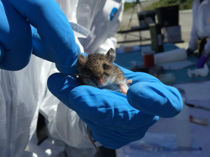 A person with blue gloves and a white Tyvek suit holds a small brown and white mouse