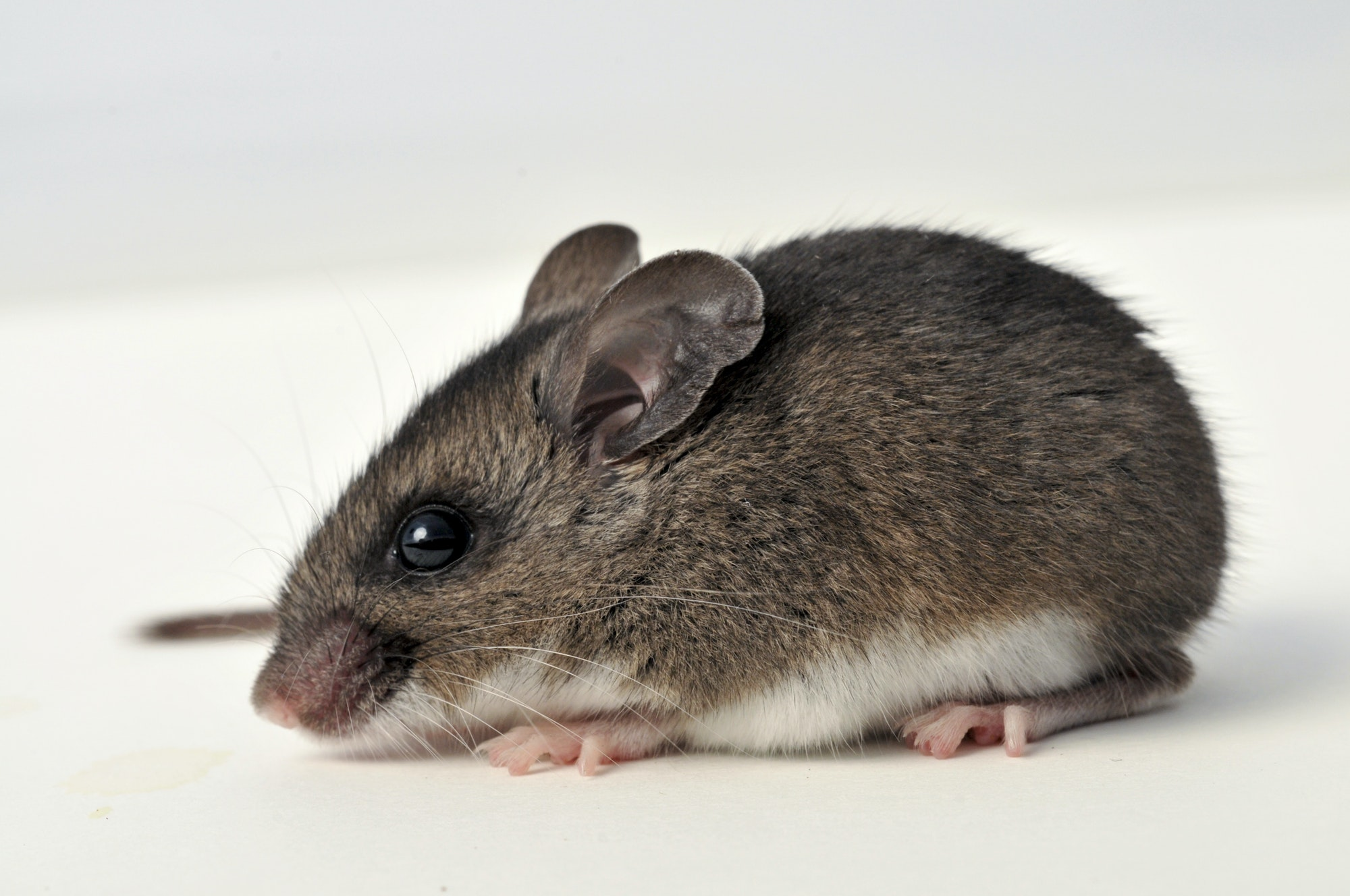 Sideview of a mouse. The mouse is mostly dark brown, but the belly of the mouse is white. The mouse has light pink feet, large black eyes, and long white whiskers.