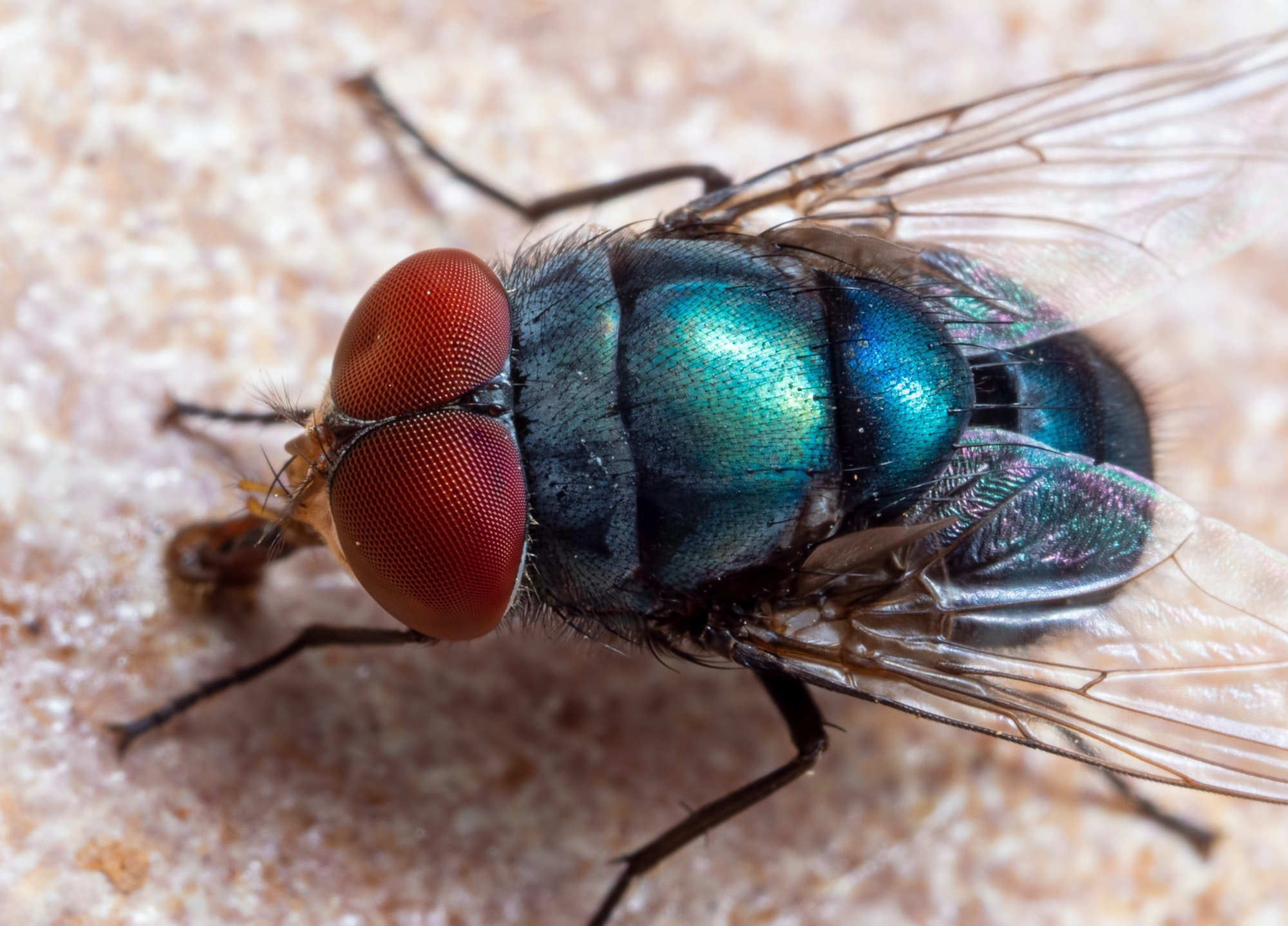 A fly viewed from the top front angle.  The fly has very large red eyes and a shiny green and blue body.