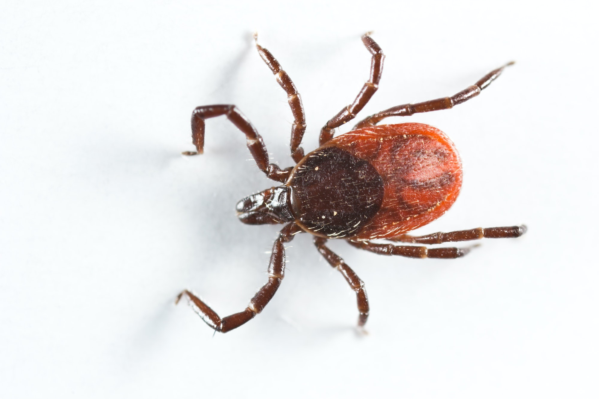 A brown and black colored tick, with a round body, 8 long legs, and a mouthpart extending from the body