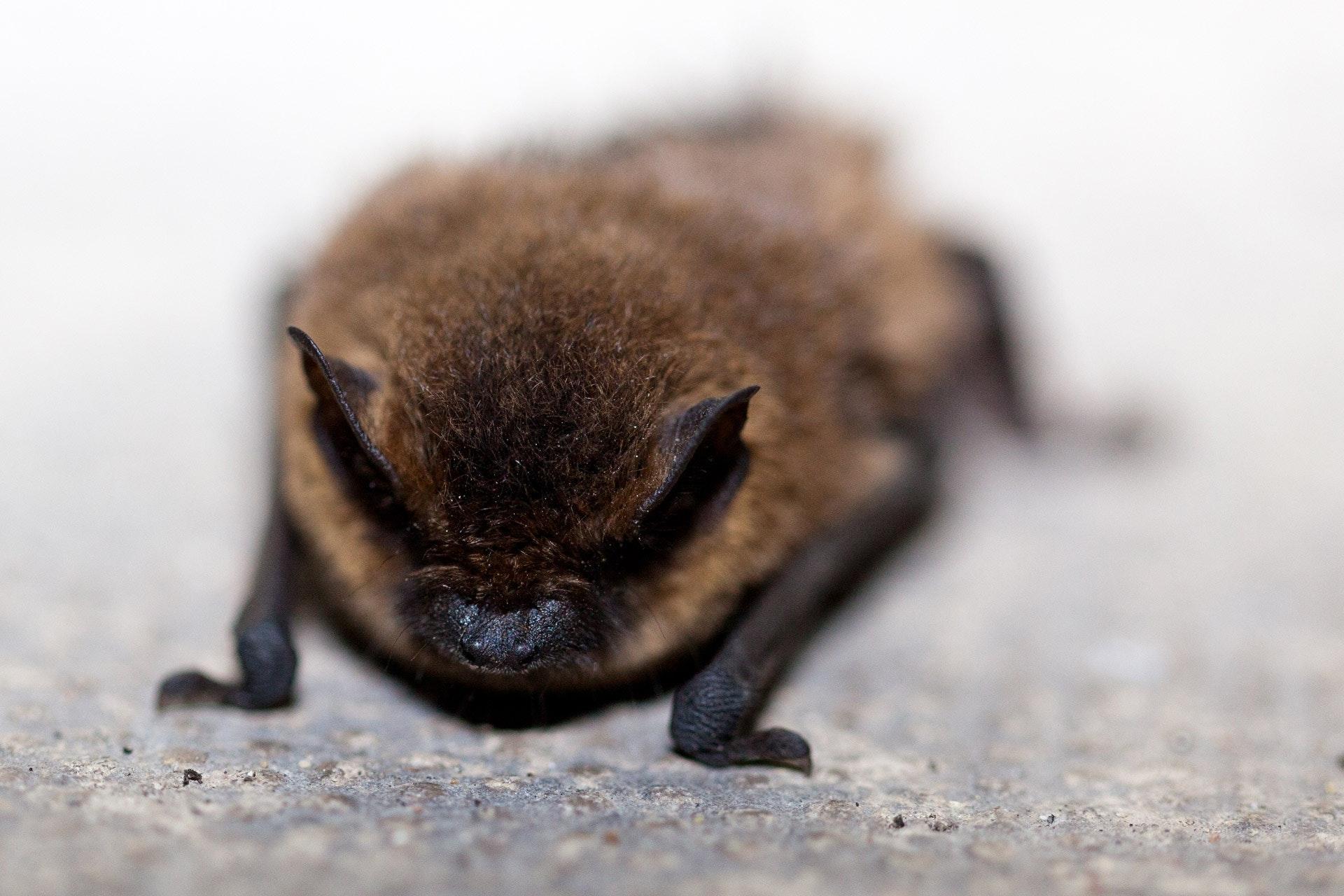 A black and dark brown bat facing the camera