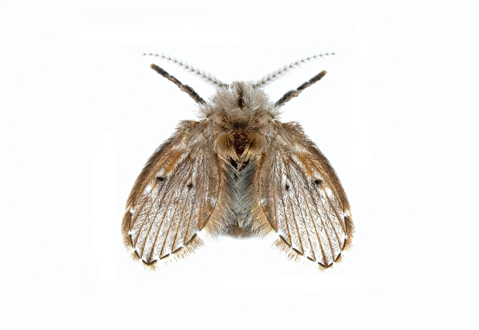 A winged insect viewed from above. Two front legs and two antennae can be seen.  The head and body appear fuzzy.  The wings are striped.  The insect is mostly light brown colored.