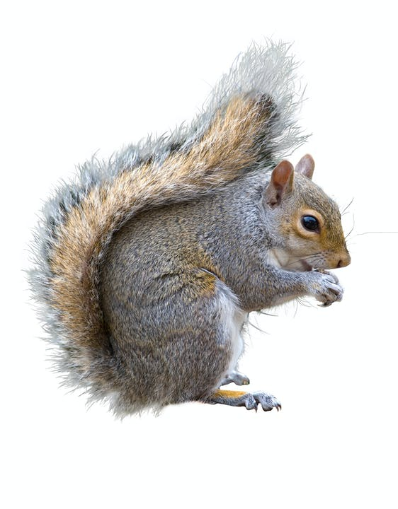 Side view of a grey squirrel.  The squirrel appears to be holding something in its front paws and holding it near its mouth. The face of the squirrel is light brown with black eyes. The body of the squirrel is grey and brown. The tail of the squirrel is very bushy and light brown colored with longer grey hairs as well.