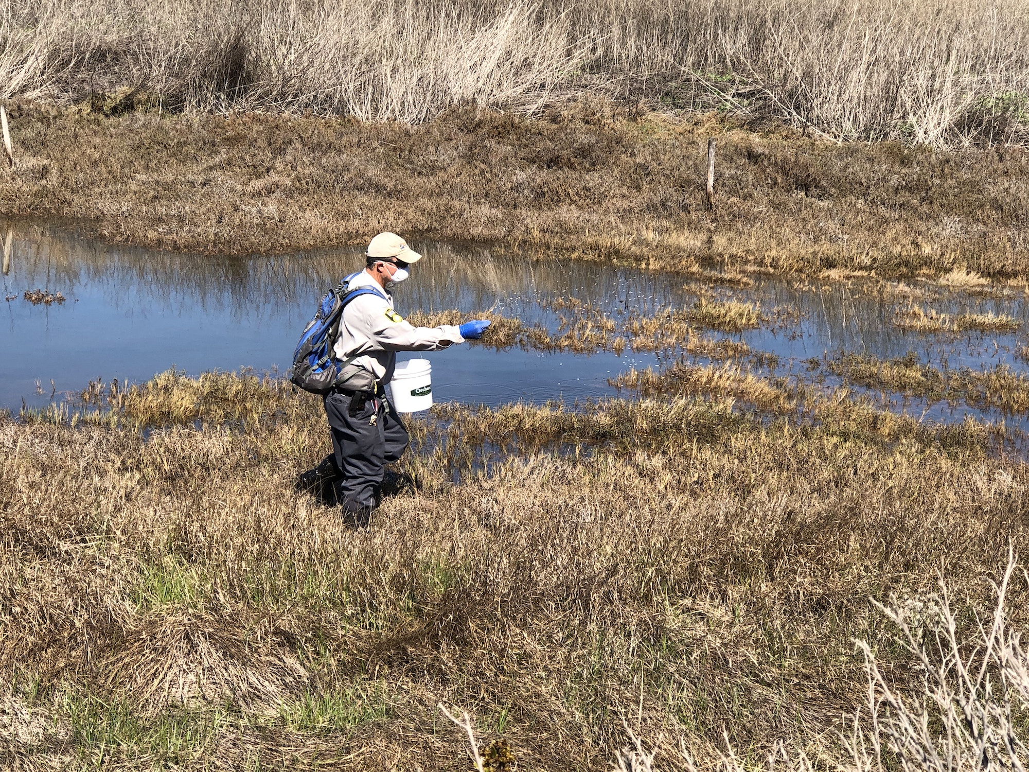 Person is standing in a marsh with water and brown-and-green plants.  Person is wearing a tan and grey uniform with a cap.  Person has a backpack and white pail, and is wearing face mask and gloves while throwing pesticide.