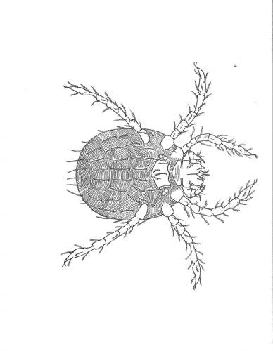 A black-and-white line drawing of a fuzzy-looking mite.  The mite appears to have six legs, and the mouthparts are short and not easily seen.