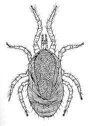 A black-and-white line drawing of a fuzzy-looking mite.  The mite has eight legs and long mouth parts.  There is a gap of space between the front two legs and the back two legs on each side of the mite.