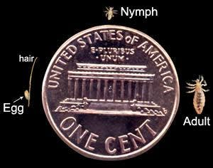 The back of a penny, with a louse egg, nymph, and adult around it. The egg is very small, smaller than the letter 'u' on the penny. The nymph is slightly bigger. The adult is about as long as the building is tall on the back of the penny..