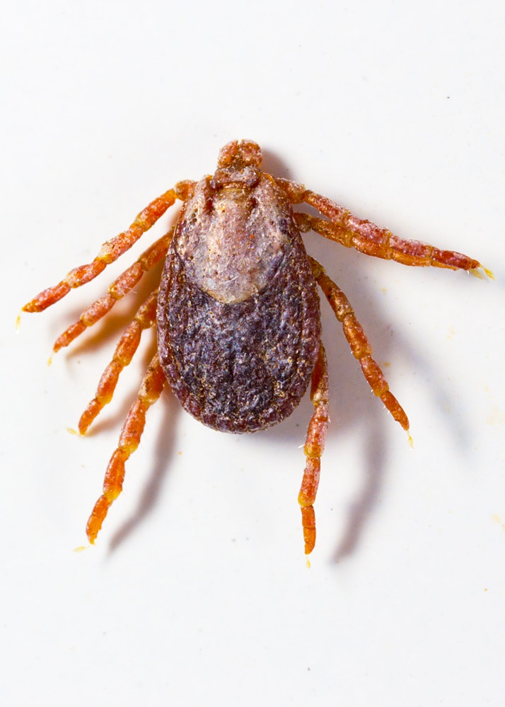 A dark brown and light brown colored tick, with a round body, 8 long legs, and a mouthpart extending from the body
