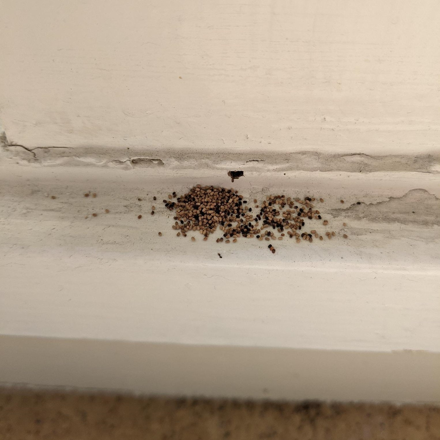 A creamcolored wall and baseboard meet the floor. Along the narrow top of the baseboard, there are lots of very small brown pellets. These are termite frass (feces).