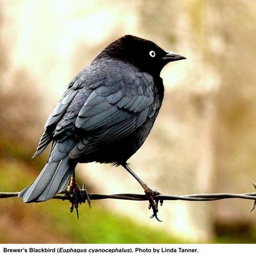 May contain: bird, animal, blackbird, and agelaius
