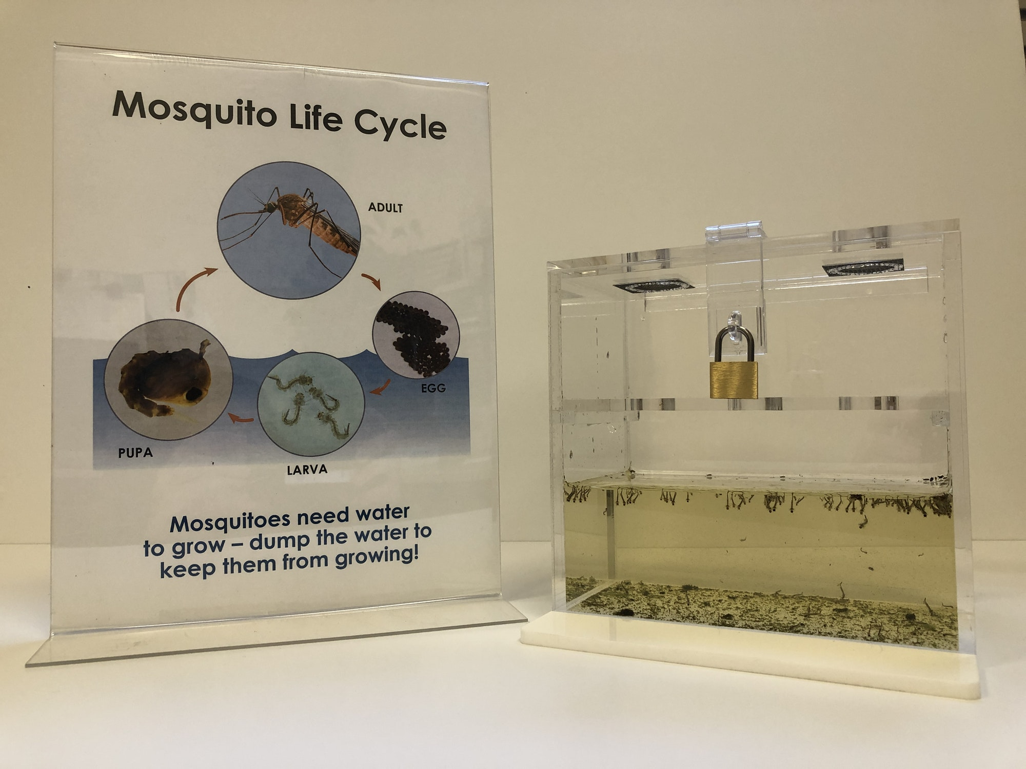 """A sign on the left says """"Mosquito Life Cycle' on top.  In the middle of the sign, there are four circles that show the stages of the mosquito life cycle (adult, egg, larva, pupa). The bottom of the sign says """"Mosquitoes need water to grow - dump the water to keep them from growing!"""".  On the right, there is a clear plastic aquarium.  The aquarium is about half filled with light green colored water. The water has little mosquito larva floating near the surface. A small lock keeps the aquarium closed."""