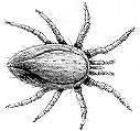 A black-and-white line drawing of a fuzzy-looking mite.  The mite has eight legs and long mouth parts.