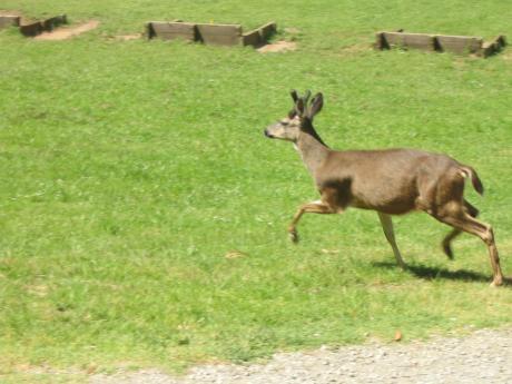 A light brown deer runs across a field of green grass