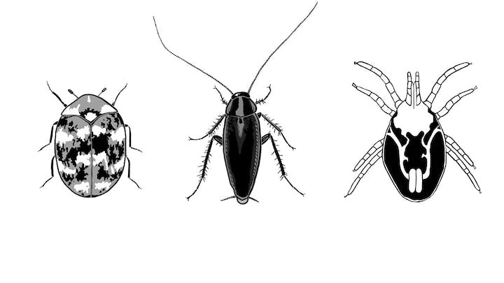 Top-down views of black-and-white drawings of a carpet beetle, a cockroach, and a rat mite. The carpet beetle is an oval shape, with two short antennae on the head and 6 short legs. The cockroach has two long antennae, 6 legs, and two small protrusions from its back end. The mite has a few white lines showing what the squiggly digestive tract looks like inside the mite. The mite has 8 legs - two pairs are on the front end of its body and two pairs are on the back end.