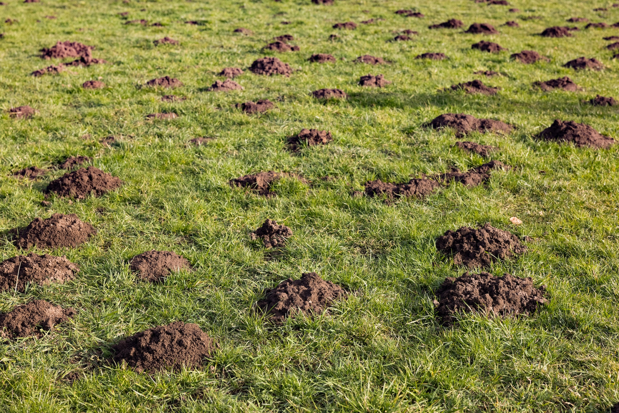 Green grass lawn with small mounds of dark brown dirt pile.