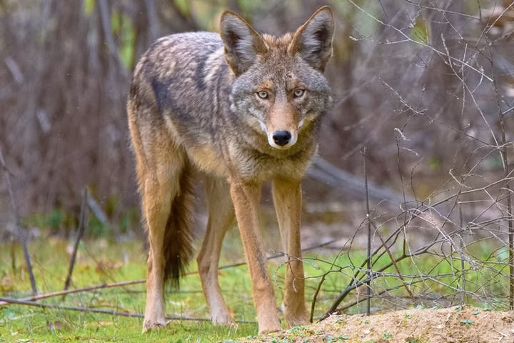 A light brown and dark brown coyote faces the camera, standing on short green grass with bare twigs and brush surrounding it