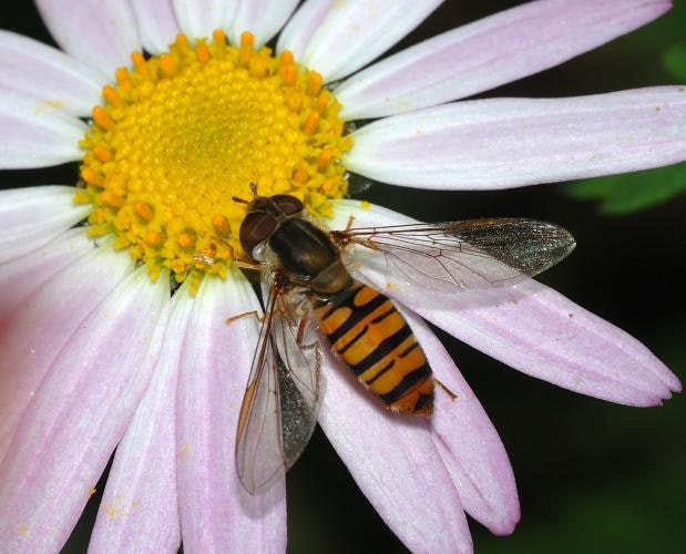 A white and pink flower with a yellow center; an insect that looks like a bee is on the flower