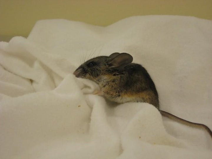 A small mouse that is dark brown on the back with a lighter-colored belly