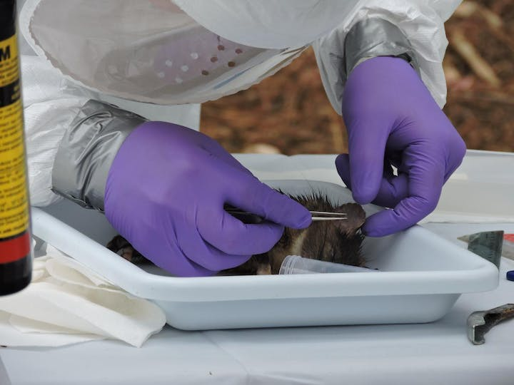 A white tray contains a woodrat lying down.  A person with protective gear (Tyvek suit, face/airway protective mask, and purple gloves ducted taped around wrists to the Tyvek suit) uses tweezers to remove a tick from the rat's ear