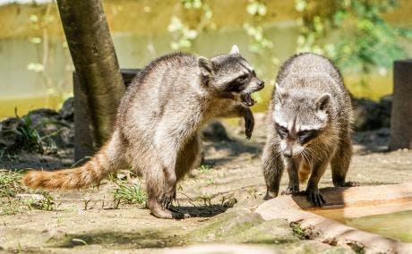 May contain: raccoon, mammal, and animal