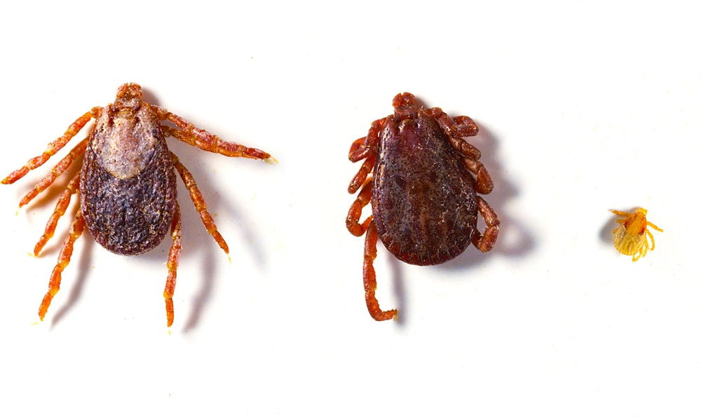 Three ticks, two adult ticks are light brown and dark brown with 8 legs each. A third immature tick is much smaller (only the size of the head of an adult tick) and light brown/yellow colored.