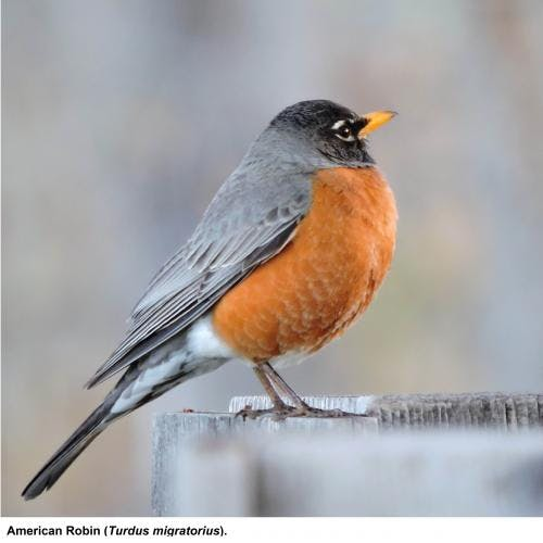 May contain: bird, animal, and robin