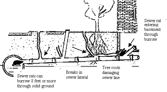 A black and white line drawing of the side view of underground, showing a rat heading from a sewer line through pipes into a house