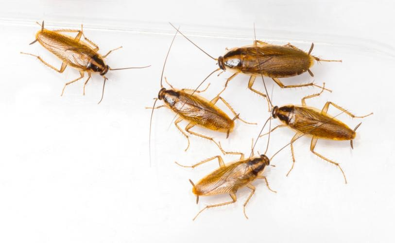 Five light brown cockroaches on a plain white background
