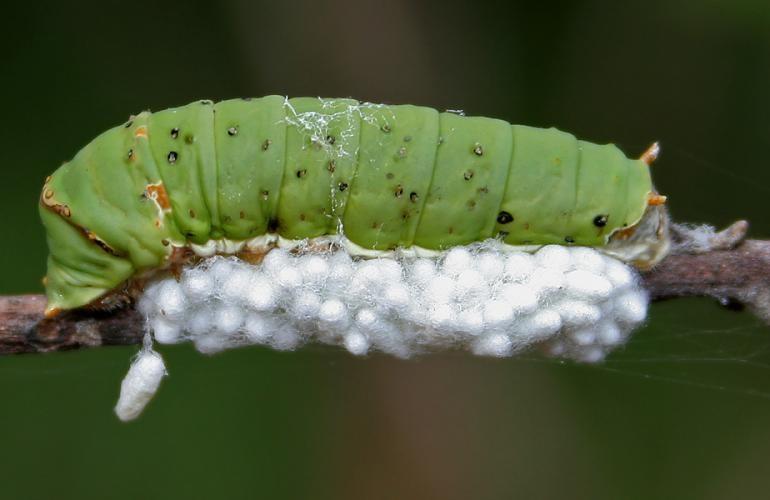 A plump green caterpillar is on a stick above a mass of small white balls