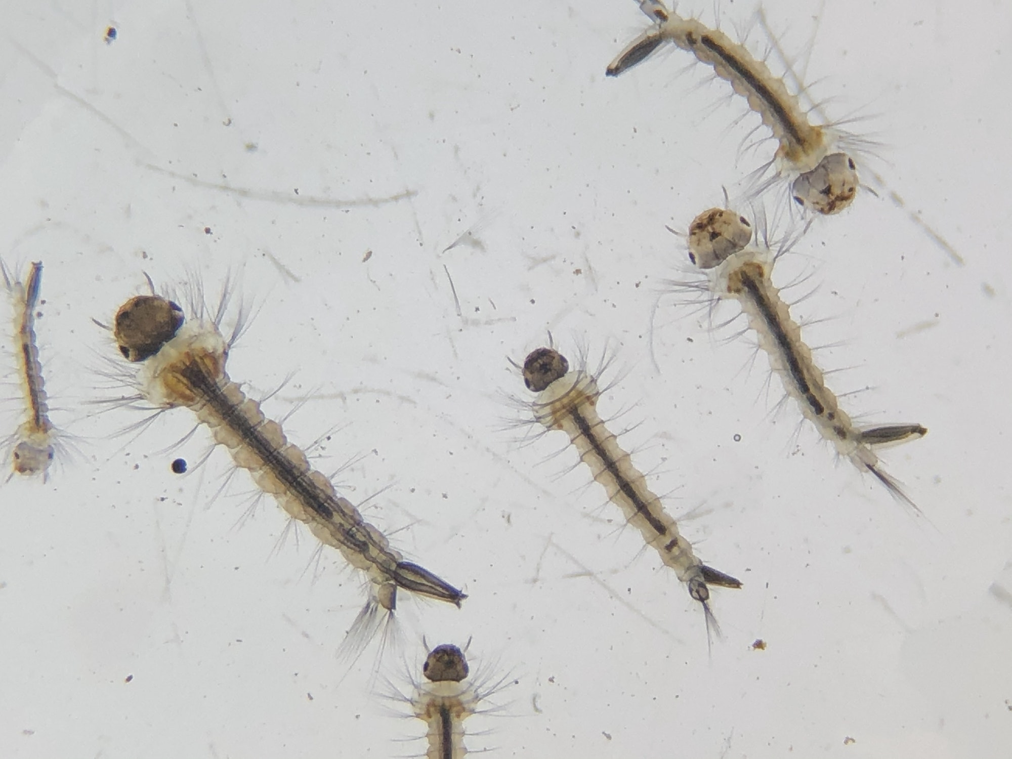 Six mosquito larvae viewed under magnification. The larvae each have a oval-shaped dark head, a long thin lighter colored brown body, and appear to be covered with small thin hairs.