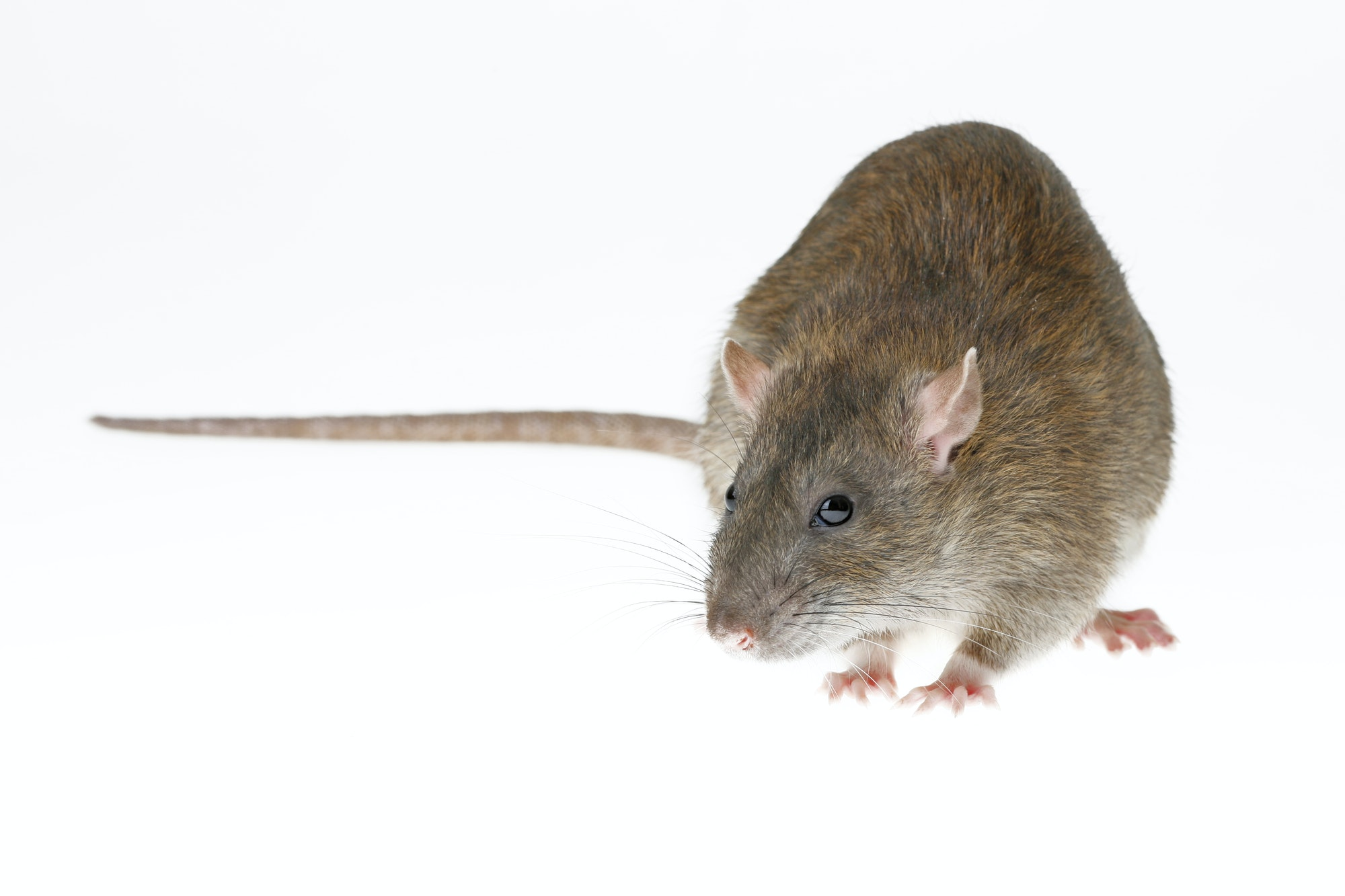 Front view of a Norway rat, which has a long brown body with pink ears and feet, and a brown tail that is shorter than its body.