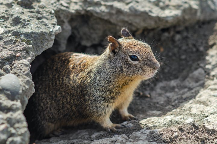 A grey and light brown squirrel stands partially emerged from a hole in the ground.