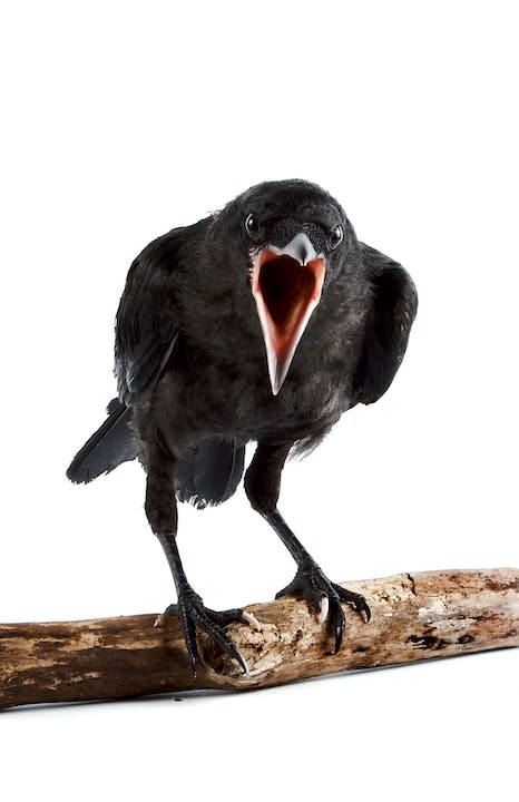 A black bird sits on a stick facing the camera with its mouth open like it is squawking at the camera