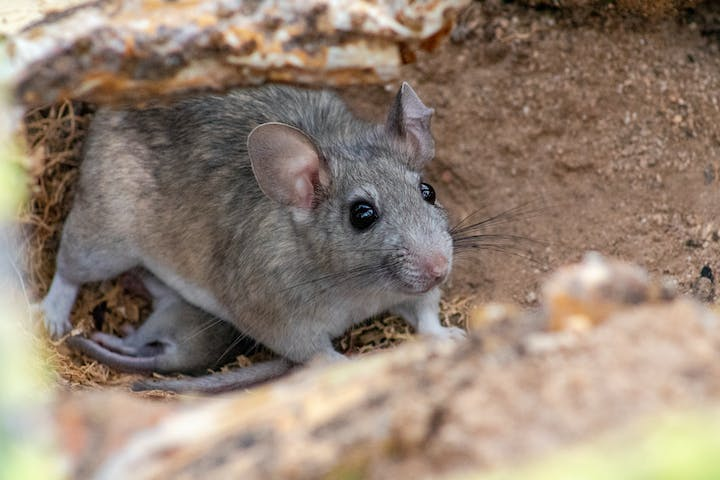 A woodrat sits on brown dirt.  The rat is looking to the side of the camera.  The rat has grey-and-brown fur, with pinkish ears and nose.