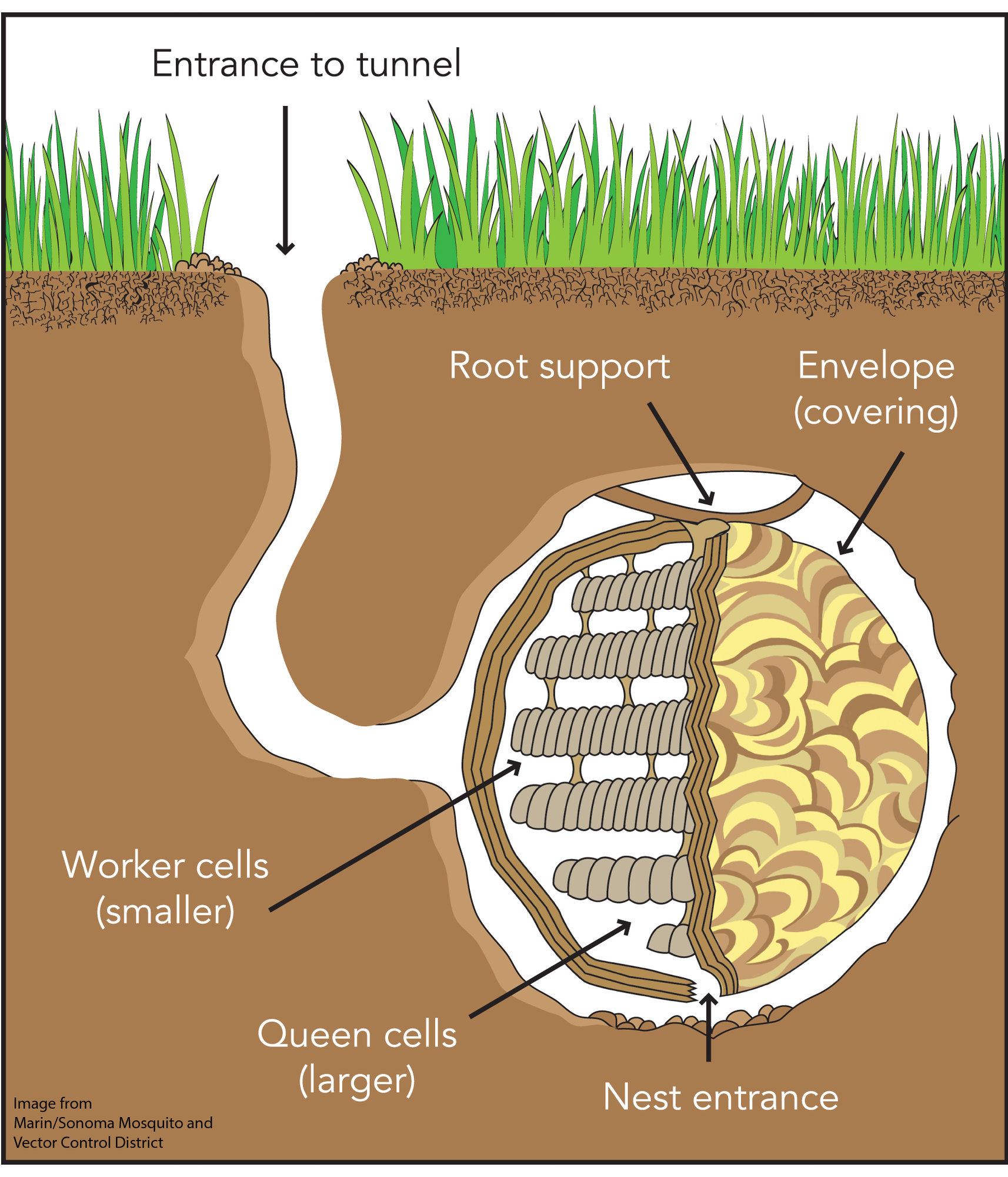 A computer-generated image of the side, underground view of a yellowjacket nest. The entrance to the tunnel is at ground level, in between blades of green grass.  The tunnel goes down into the brown dirt until it forms a large round space. Inside the space is the nest, which is connected to the wall of the hole by being connected to a root. The inside of the nest has dozens/hundreds/thousands of little cells for the queen yellowjacket to lay eggs in. The cells are surrounded by a covering that protects the nest. The nest can be entered through a hole in the bottom of the nest.