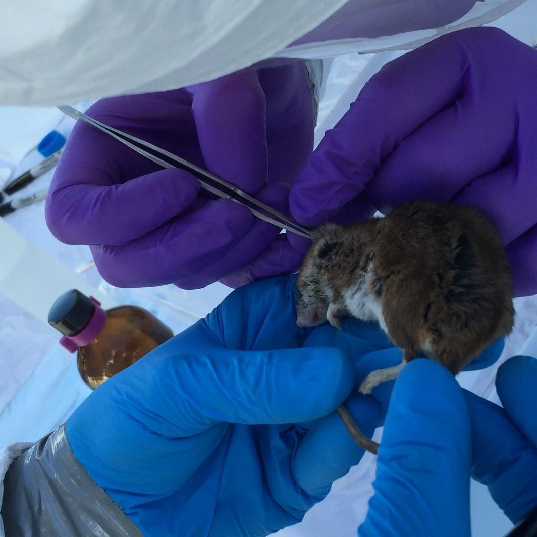 Two pairs of gloved hands - one pair of purple gloves and one pair of blue gloves) hold a small brown mouse and use tweezers to remove tiny parasites